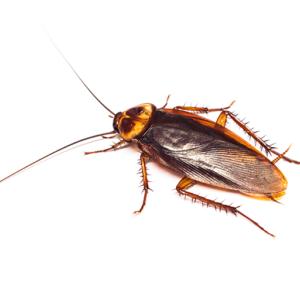 Link to Description of Roaches Pest Services