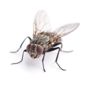 Link to Description of Flies Pest Services