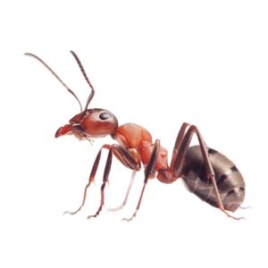 Link to Description of Ants Pest Services